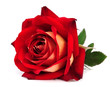 red rose isolated - 42083708