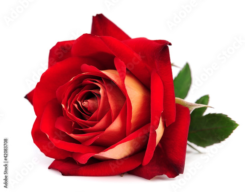 Poster red rose isolated
