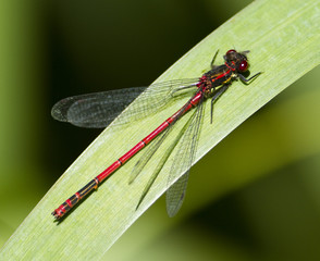 Small Red Damselfly on a green leaf