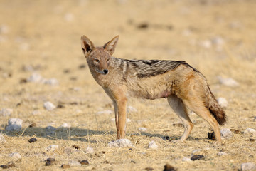 Black Backed Jackal standing in savanne.