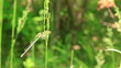 Thin stalk of a grass with a sitting dragonfly