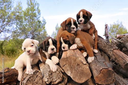 Fototapeten,hund,welpe,box,hund