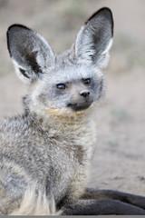 Portrait of a Bat Eared Fox.