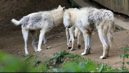 horde de loups blancs du canada