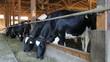 Holstein Cows on Farm
