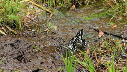 drinking water of swallowtail butterfly