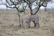 Twi cheetah cubs standing in the rain under a tree.