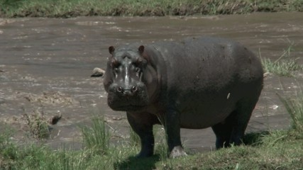 Hippo on Mara riverbank, looking at camera