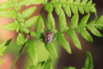 Клоп ягодный (Dolycoris baccarum) на листе папоротника