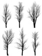 Silhouettes of birch trees without leaves.