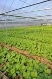 Vegetable Farms With Netting To Keep Out Pests poster