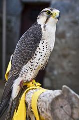 Faucon Lanier (Falco biarmicus)