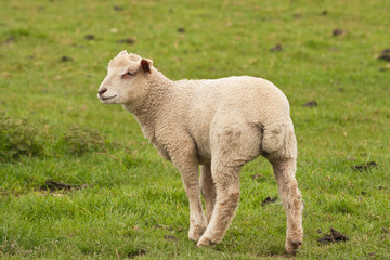 lamb pausing to look back