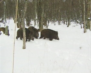 Wild boars walk on snow in winter. Animals look food cold season
