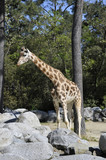 Giraffe in a Zoo Enclosure with rocks poster