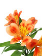 Alstroemeria lilly flowers isolated
