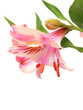 Alstroemeria lilly flowers