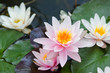 water lily bacground