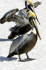 Two Brown Pelicans on the Sand