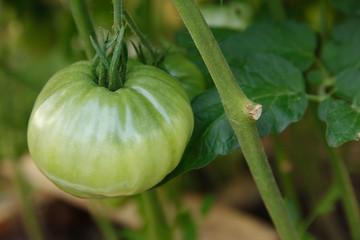 Big tomato hanging on branch
