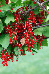 Branch of red currant on bush