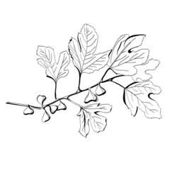 Stylized black and white drawing of a branch of fig tree