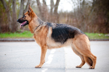 german shepherd dog champion standing