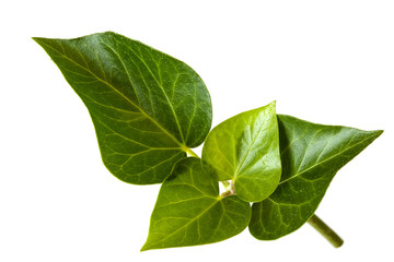 Ivy Leaves over White