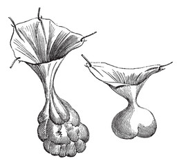 Fig. 594. Two different kind of hernial sacs., vintage engraving
