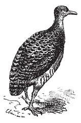Tinamou or Rhynchotus sp., vintage engraving