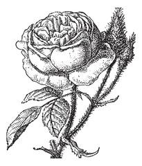 Moss Rose or Portulaca grandiflora, vintage engraving