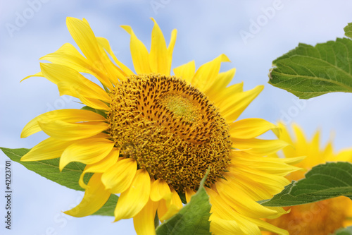 Beautiful sunflowers plants