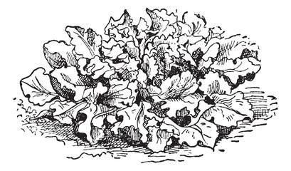 Prickly Lettuce or Lactuca serriola, vintage engraving