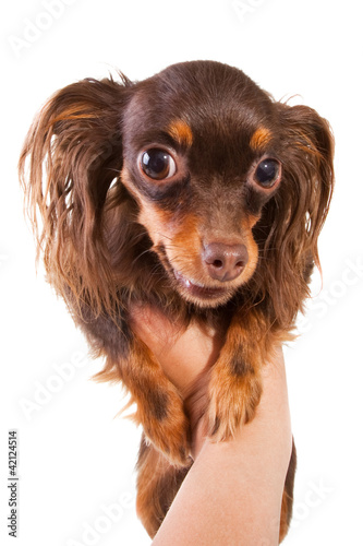 toy terrier breed puppy on isolated white