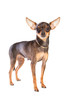 short-haired toy terrier on isolated white