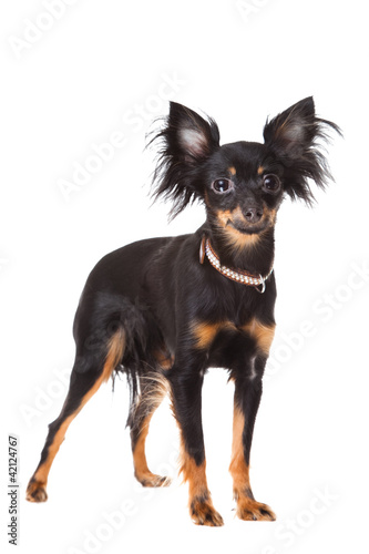 long-haired toy terrier on isolated white