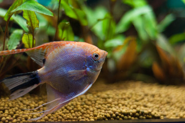 scalar fish