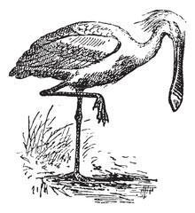 Spoonbill, vintage engraving.