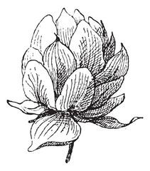 Strobilus, vintage engraving