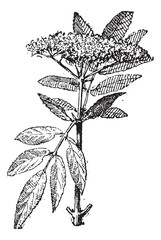 Elderberry or Sambucus, vintage engraving.