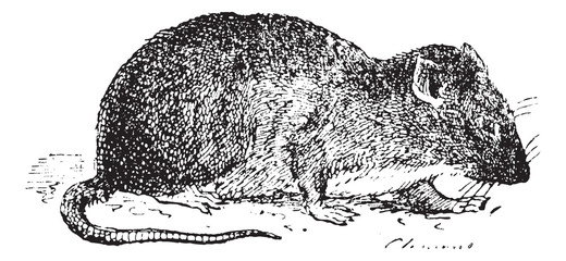 Brown rat  or Sewer rat, vintage engraving.