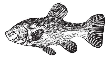 Tench or Tinca tinca vintage engraving
