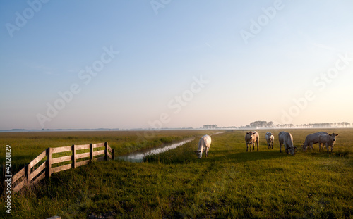 Dutch beige cows on pasture