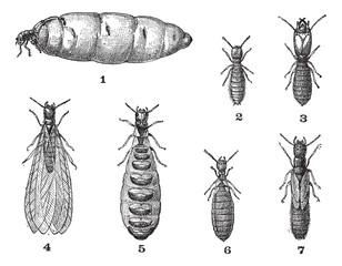 Termites, vintage engraving.