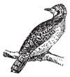Wryneck, vintage engraving.