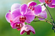 Pink orchid outdoor