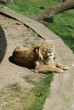 Asiatic Lion - Panthera leo persica
