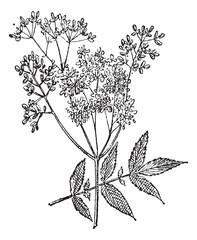 Meadowsweet or Filipendula ulmaria, vintage engraving