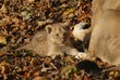 Asiatic Lion Cub - Panthera leo persica