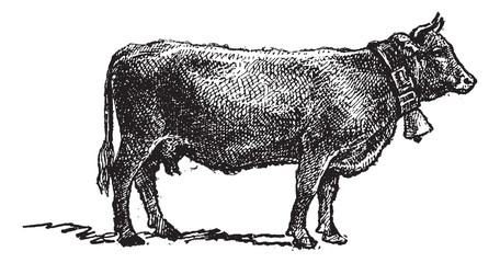 Swiss cattle breed, vintage engraving.